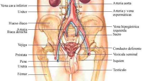 Prostata: Anatomia