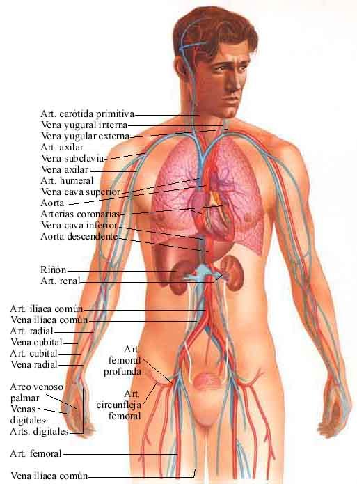 Cuerpo humano organos fotos imagui - Interior cuerpo humano organos ...