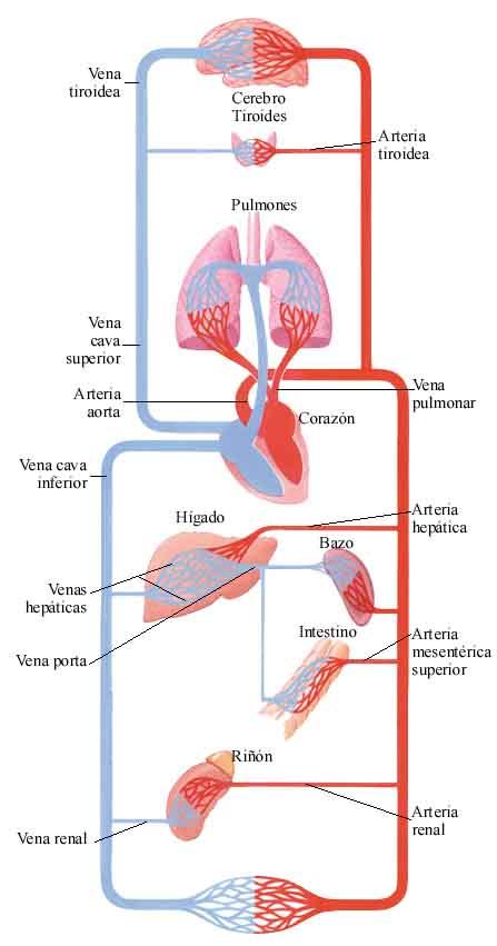 El sistema circulatorio en imagenes